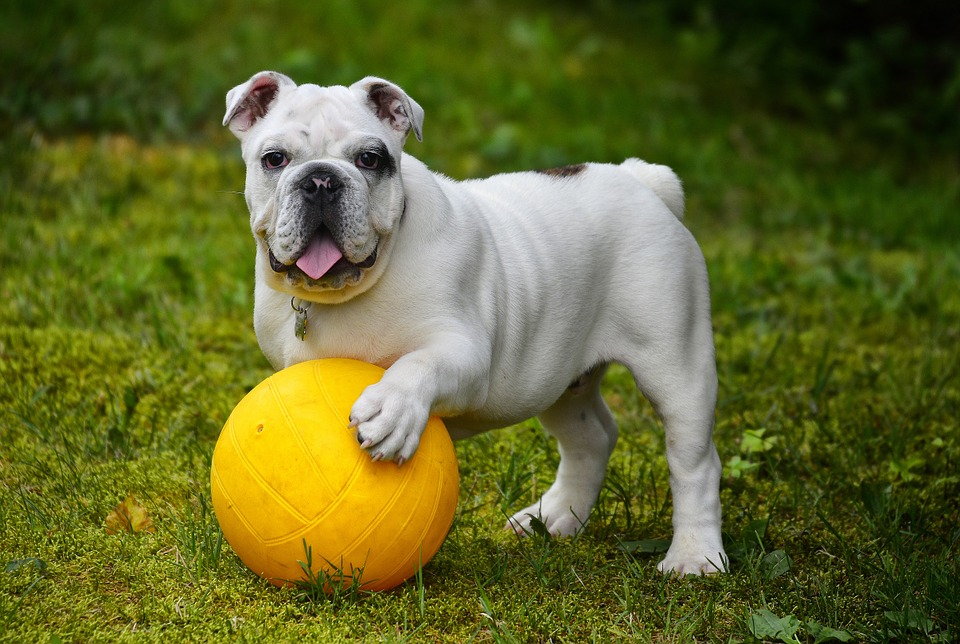 english-bulldog-562723_960_720